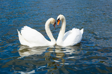 Swans in Hyde park lake