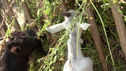 goat eating grass on the farm 1
