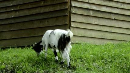 Capra Goat Koza domowa Коза домашняя Chèvre Hausziege
