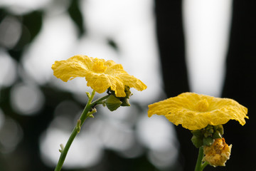 Yellow Flower,  Close up of zucchini flowers  with blur backgrou