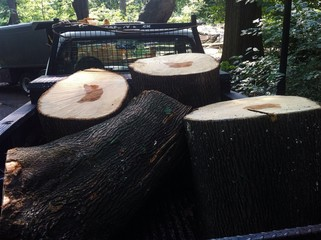 trunks of trees felled