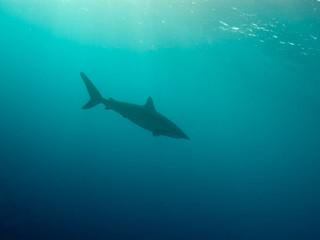 Silky shark (Carcharhinus falciformis) under water