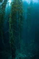 Giant Kelp Forest Growing