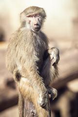 Macaque Monkey Sitting