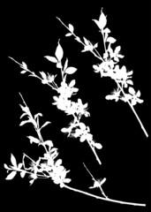 sakura three white simple branch silhouettes