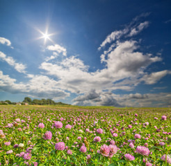 sun above meadow of pink clover