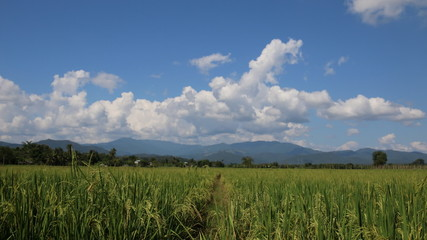 Rice paddies in rural northern Thai