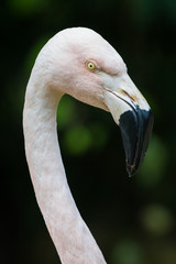Head of majestic greater flamingo with big pecker