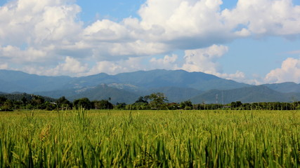 Rice paddies in rural northern Thai
