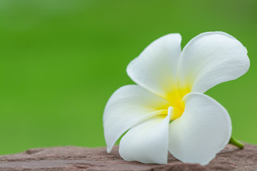 white plumeria flower on stone with green background