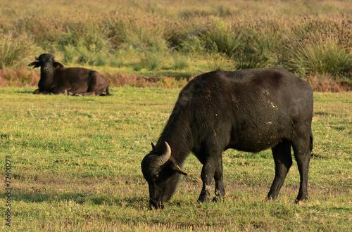 Plexiglas Buffel allevamento di bufali d'acqua