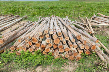 Eucalyptus tree, Pile of wood logs ready for industry