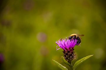 Bij op paarse bloem