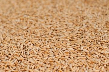 Wheat grain background. Shallow DOF