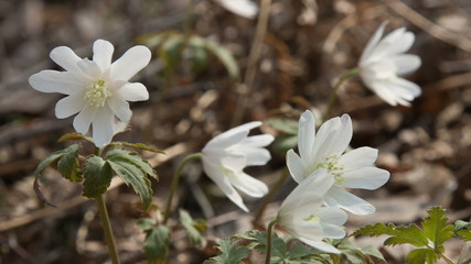 Siberian primroses - anemone (Anemone nemorosa)