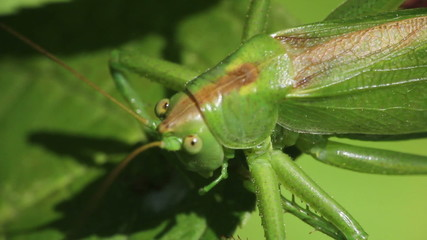 Green grasshopper closeup
