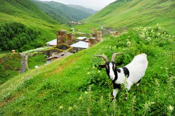 A goat in Ushguli village