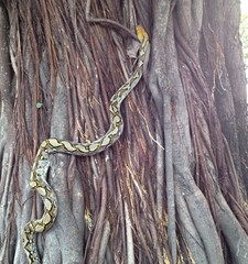 Pythons retiles up the tree