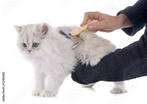 canvas print picture persian kitten