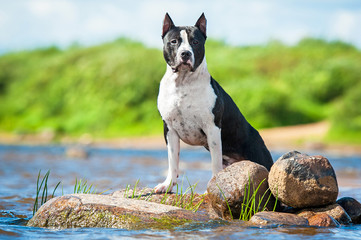 American staffordshire terrier standing on stones in the water