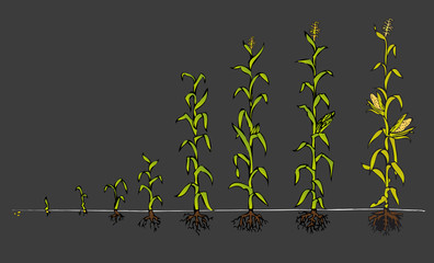 Maize Development Diagram - stages of growth