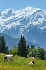 Herd cows on glade and Mont Blanc mountain massif (view from Pla