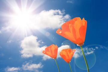 orange poppies flowers