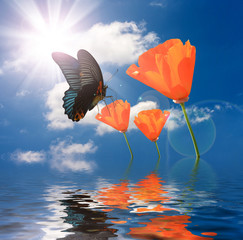 butterfly feeding orange poppies flowers