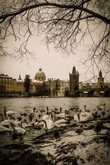 A lot of swans near Charles bridge in Prague