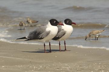 Pair of Laughing Gulls on the Beach - Georgia