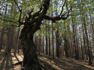 Old Humpbacked Beech Tree In The Middle Of Pine Forest