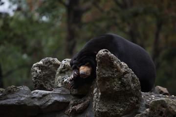 Bär, panda,
