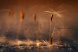 abstract blurred natural background orange dandelion seeds - 72415495