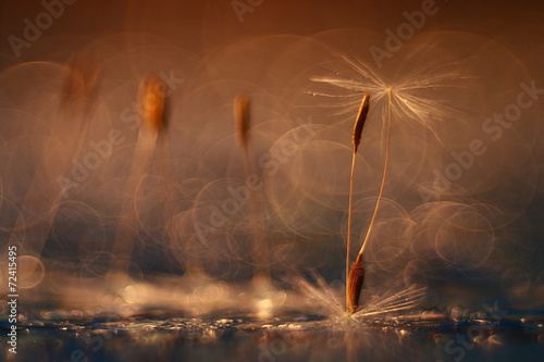 abstract blurred natural background orange dandelion seeds - 72415495