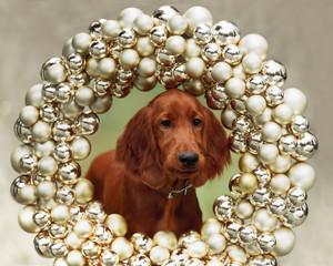 Setters puppy, xmas, horizontal portrait