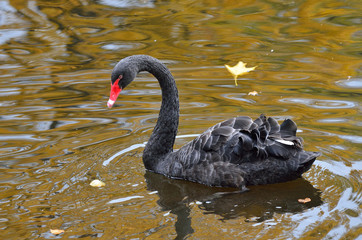 Санкт-Петербург, черный лебедь в пруду Михайловского сада