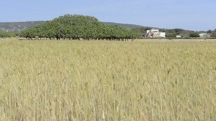 Wheat blowing in the wind on a field in Formentera island.