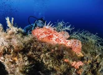 Italy, Mediterranean Sea, U.W. photo, diver and a Scorpionfish