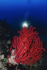 Italy, Tyrrhenian Sea, U.W. photo, red gorgonian