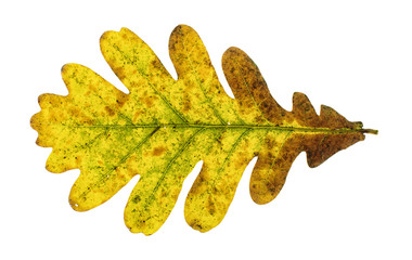 Autumn oak leaf isolated