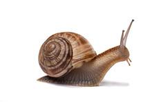 "Постер, картина, фотообои ""snail on the white background"""