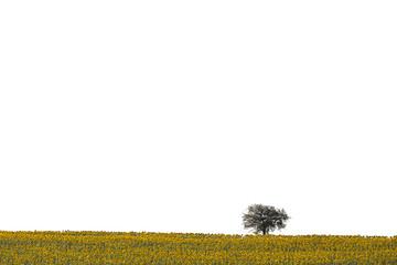 Tree in sunflower field near Tekirdag