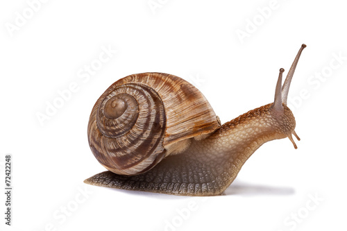 Fototapeta snail on the white background