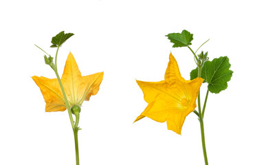 Courgette flower view