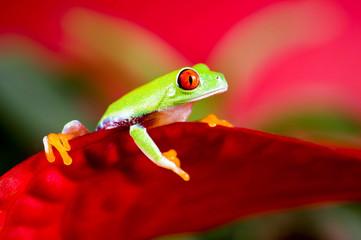 Rotaugenlaubfrosch auf roter Blüte