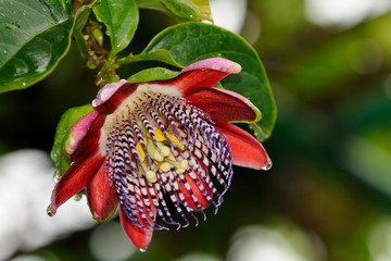Passion flower or passiflora