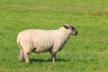 Woolly sheep standing in the pasture