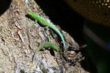 Madagascar day gecko (Phelsuma madagascariensis) poster