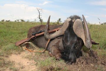 Trophy African antelopes of the black wildebeest with a rifle