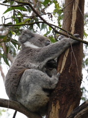 Koala (Phascolarctos cinereus) in an Eucalyptus tree